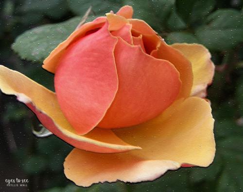 Rose0508e