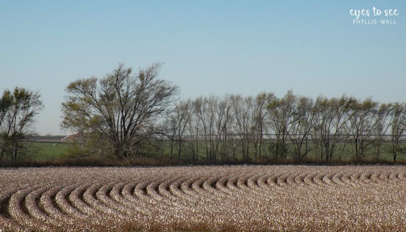 Cotton rows